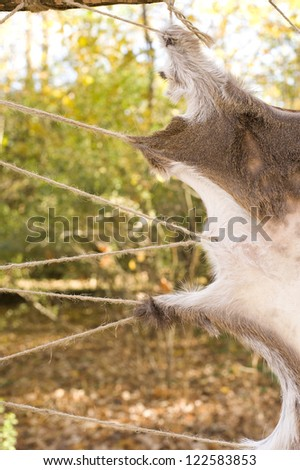 Animal skin stretched and drying - stock photo