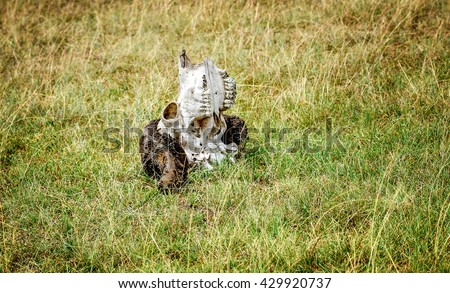 Animal skull found on the grass of Masai Mara Game Park reserve, Kenya - stock photo