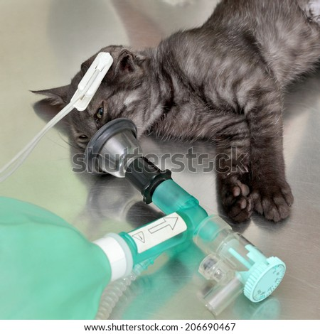 Animal surgery, cat with  anesthesia breathing circuit set - stock photo