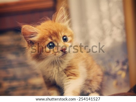 Animals at home . Cute Red cute little baby cat pet . kitten playing - stock photo