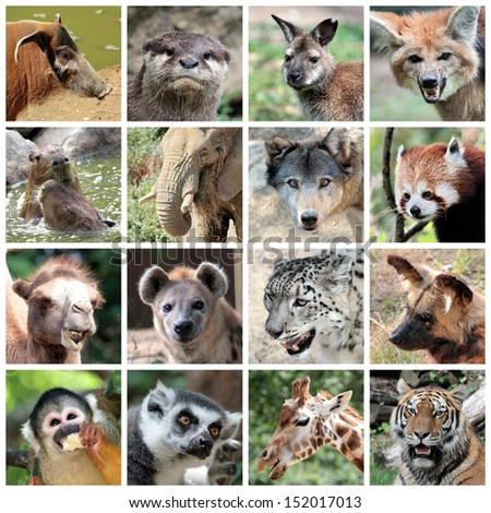 Animals collage with potamochoerus, otter, wallaby, maned and grey wolf, capybara, elephant, red panda, camel, hyena, snow leopard, lycaon, squirrel monkey, maki catta, giraffe, tiger portrait - stock photo