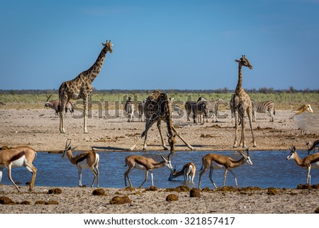 Animals drinking water in a waterhole inside the Etosha National Park, Namibia, Africa - stock photo