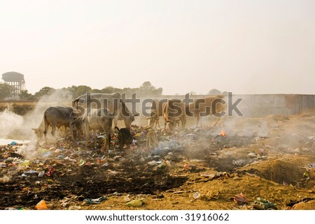 Animals in trash heap in India. - stock photo