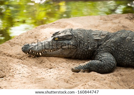 Animals in wild. Crocodile basking in the sun - stock photo