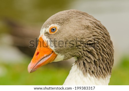 Animals in Wildlife - Goose - stock photo