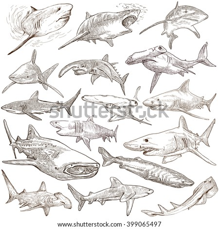 Animals, SHARKS, Chordata. Collection of an hand drawn illustrations. Description, Full sized hand drawn illustrations - freehand sketches. Drawings on white background. - stock photo