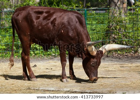 Ankole-Watusi (Bos taurus watusi), also known as Ankole Longhorn. Wild life animal.  - stock photo