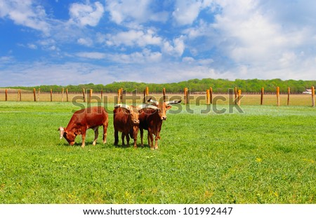 Ankole Watusi standing in a wild life park of Askania Nova, Ukraine - stock photo