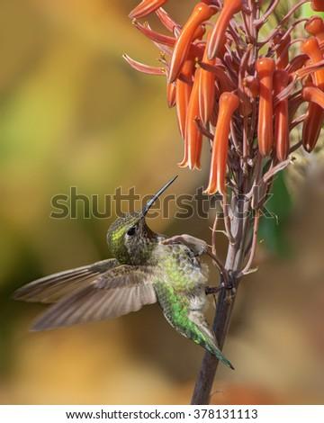 Anna's hummingbird feeding on aloe flowers. Photo taken in Southern California. - stock photo
