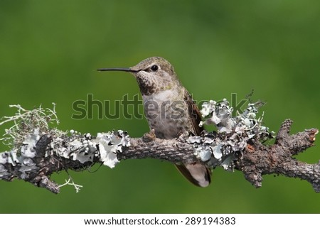 Annas Hummingbird (Calypte anna) on a perch with moss and lichen - stock photo