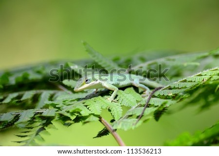 Anole on a Fern. - stock photo