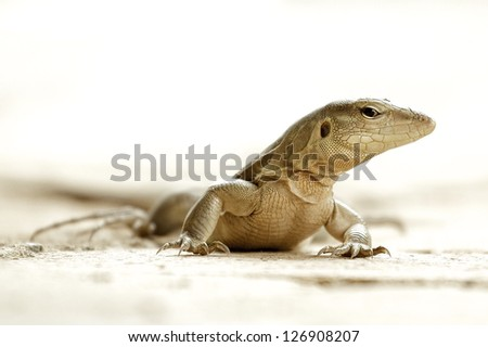 Anolis - stock photo