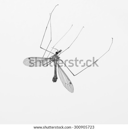 Anopheles mosquito, crane fly - stock photo
