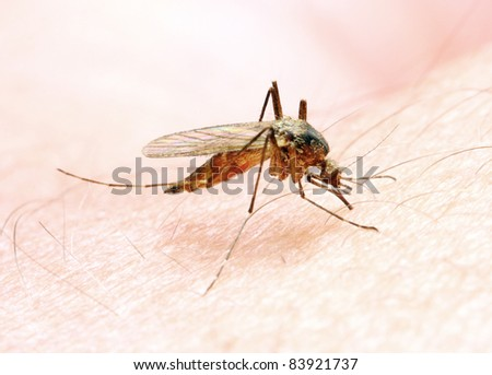 Anopheles mosquito - dangerous vehicle of a Malaria infection. - stock photo