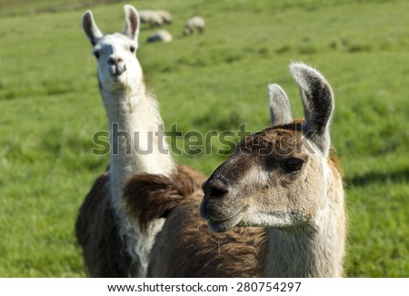 Another Llama photo bomb near Potlach, Idaho. - stock photo