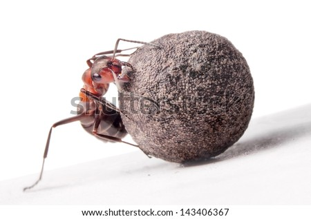 ant fights with heavy stone - stock photo