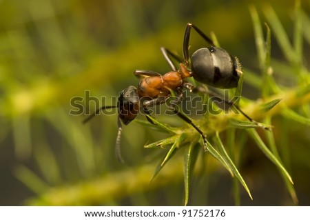 Ant - Formica rufa - stock photo