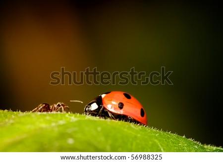 ant meets ladybird - stock photo