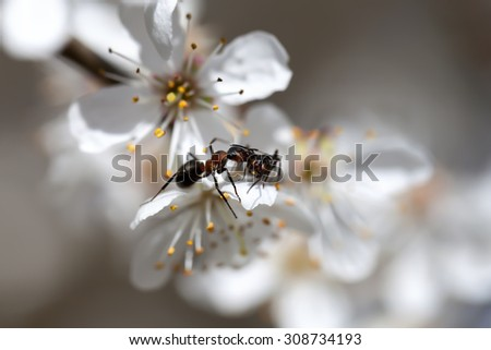 Ant on a Blooming mirabelle - stock photo