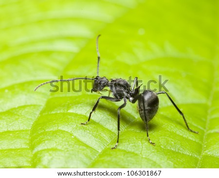 ant on a leaf from macro lens. - stock photo
