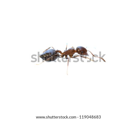 ant on a white background. macro - stock photo