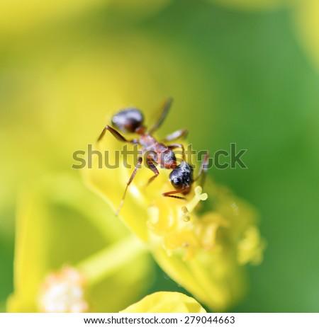 Ant on flower macro/Ant/Ant on flower - stock photo
