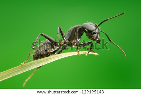 Ant on grass blade over green background, from below view - stock photo