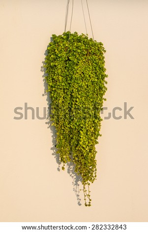 Ant plant or  Dischidia nummularia Variegata hanging on the wall. - stock photo