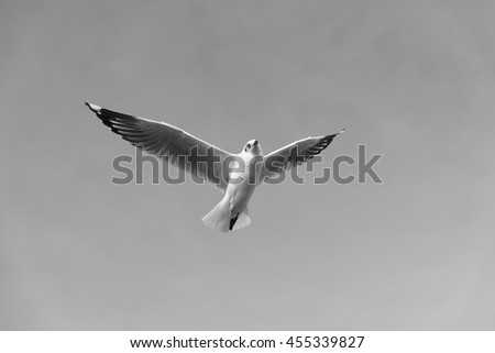 Ant's Eyes View of A Seagull Flying wingspan looking downwards to the Camera in Black and White Tone. - stock photo
