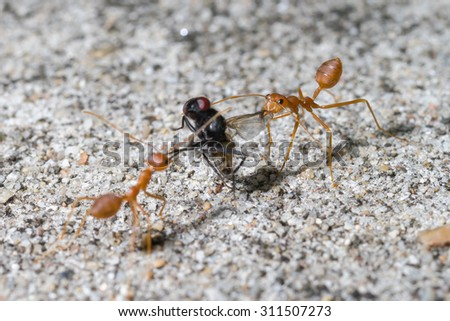 Ant walking to Foraging on a branch. - stock photo