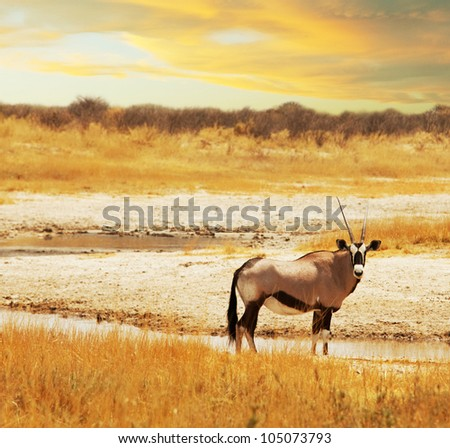 antelope - stock photo