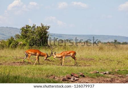 antelope - stock photo