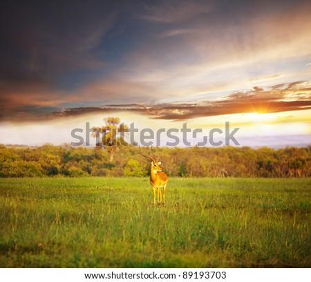 antelope Gemsbok - stock photo