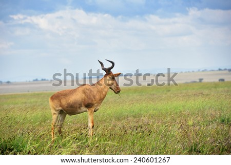 Antelope hartebeest in the savannah, Serengeti national park, Tanzania, Africa - stock photo