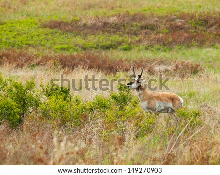 Antelope in a Field at the National Bison Range in Montana USA - stock photo