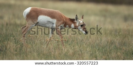 Antelope in a natural setting - stock photo