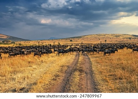 Antelopes wildebeest crossing the road. Great migration. Kenya - stock photo