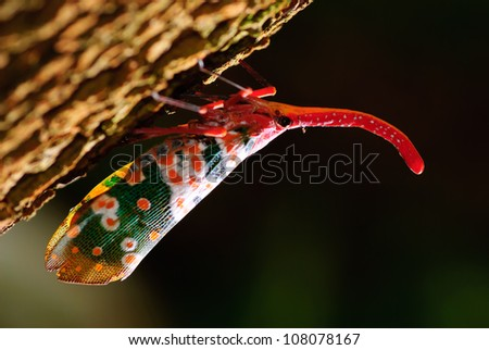 anternfly insects on tree fruits, Pyrops candellaria. - stock photo
