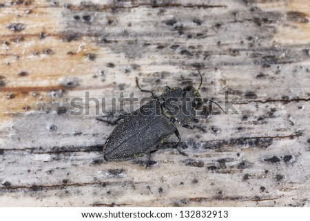 Anthaxia similis on wood, macro photo - stock photo