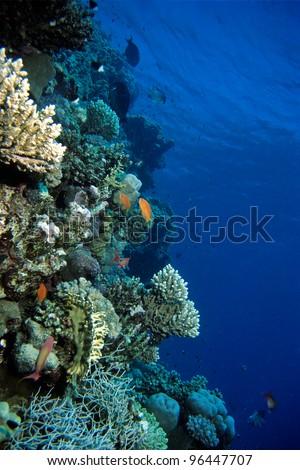 Anthias at Red Sea Coral Reef, Egypt - stock photo