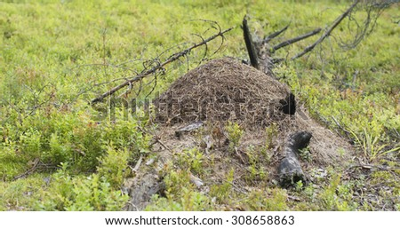 anthill in summer pine forest, 4k photo - stock photo