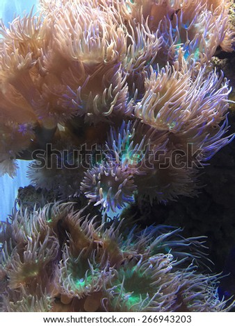 Anthopleura xanthogrammica is a species of intertidal sea anemone of the family Actiniidae. - stock photo
