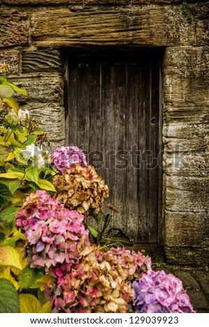 Antique wooden door and pink hortensia - stock photo