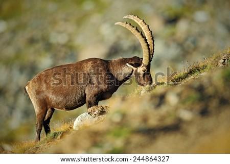 Antler Alpine Ibex, Capra ibex ibex, with rocks in background, National Park Gran Paradiso, Italy  - stock photo