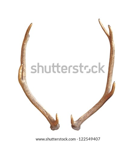 antlers from a young red deer, a trophy for future, isolated over white background - stock photo