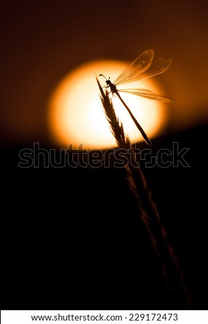 Antlion (Myrmeleon sp.) at sunrise perched on a twig. Patagonia, Argentina, South America. - stock photo
