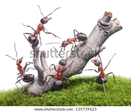 ants bring down weathered tree, teamwork isolated on white background - stock photo