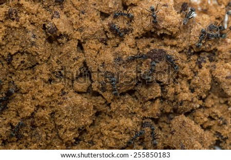 Ants eat sugar - stock photo