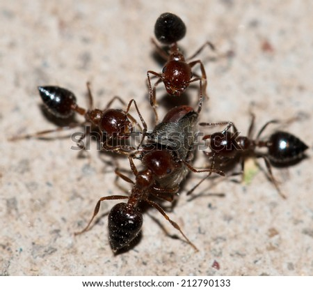 ants eating a fly - stock photo