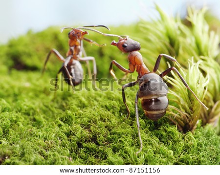 ants formica rufa, conflict - stock photo
